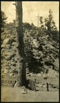 019-01: Photo of Tree 1 by George Fryer Sternberg 1883-1969