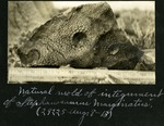 008-02: Natural Mold of the Integument of Stephanosaurus marginatus by George Fryer Sternberg 1883-1969