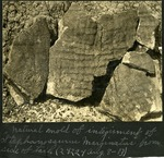 008-03: Stephanosaurus marginatus from Side of Tail by George Fryer Sternberg 1883-1969