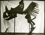 023-03: Unidentified Skeleton by George Fryer Sternberg 1883-1969