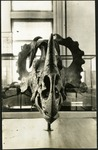 025-02: Front View of a Skull by George Fryer Sternberg 1883-1969