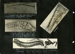 004_00: Collection of Four Fossil Specimen by George Fryer Sternberg 1883-1969