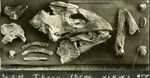 006_01: Collection of Fossil Specimens of the Turtle Protostega by George Fryer Sternberg 1883-1969