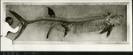 024_03: Large Fossil Fish Specimen by George Fryer Sternberg 1883-1969