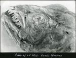 003_02: Fish Skull by George Fryer Sternberg 1883-1969