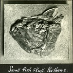 003_03: Small Fish Skull by George Fryer Sternberg 1883-1969