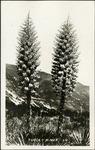 007_01: Yucca Plants by George Fryer Sternberg 1883-1969