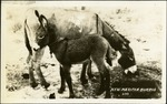 007_02: Two New Mexican Burros by George Fryer Sternberg 1883-1969