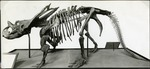 007_01: A Mounted Skeleton of a Chasmosaurus Belli by George Fryer Sternberg 1883-1969