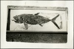 013_01: A Fish Fossil by George Fryer Sternberg 1883-1969