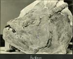 013_02: A Portheus Skull by George Fryer Sternberg 1883-1969