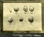 015_04: Fossil Eggs by George Fryer Sternberg 1883-1969