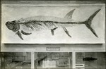 017_02: Display of a Portheus Molossus Cope by George Fryer Sternberg 1883-1969