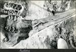 018_01: Fossil of a Mastodon Skull by George Fryer Sternberg 1883-1969