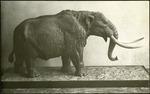 018_02: A Model of a Mastodon by George Fryer Sternberg 1883-1969