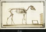 019_02: Skeleton of a Horse by George Fryer Sternberg 1883-1969