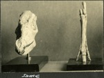 019_05: Fossil Specimens of a Mesohippus Bardi by George Fryer Sternberg 1883-1969