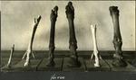 019_06: Six Legs of Horses by George Fryer Sternberg 1883-1969