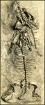 003_02: A Top View of a Unidentified Skeleton by George Fryer Sternberg 1883-1969