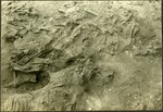 007_03: A Section of Ground with Scattered Bones by George Fryer Sternberg 1883-1969