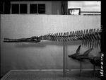 Plesiosaur - anterior region by George Fryer Sternberg 1883-1969