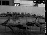 Plesiosaur - mid-section by George Fryer Sternberg 1883-1969