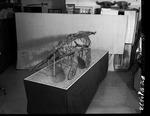 Plesiosaur - complete specimen from rear by George Fryer Sternberg 1883-1969