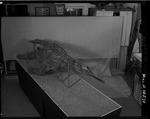 Plesiosaur - complete specimen, front view by George Fryer Sternberg 1883-1969