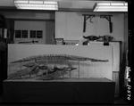 Plesiosaur - complete specimen, side view by George Fryer Sternberg 1883-1969