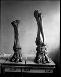 Mammoth feet - found near Castle Rock in Kansas by George Fryer Sternberg 1883-1969