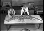 Mosasaur - G. F. Sternberg and L. C. Wooster by George Fryer Sternberg 1883-1969
