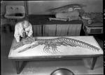Mosasaur - G. F. Sternberg by George Fryer Sternberg 1883-1969