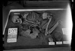 Human Skeleton by George Fryer Sternberg 1883-1969
