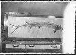 Ichthyodectes by George Fryer Sternberg 1883-1969