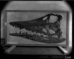 Plesiosaur Brachauchenius lucasi by George Fryer Sternberg 1883-1969