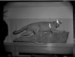 Felis concolor (Mountain lion) by George Fryer Sternberg 1883-1969