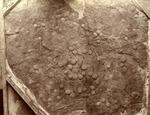 Crinoid Slab