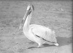 American White Pelican by Lyman Dwight Wooster