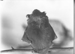 Bat by Lyman Dwight Wooster