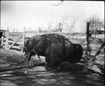 American Bison by Lyman Dwight Wooster