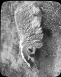 Badger by Lyman Dwight Wooster