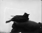 Bird on Man's Thumb by Lyman Dwight Wooster