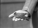 Bird in Man's Hand by Lyman Dwight Wooster