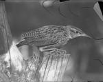 Bird by Lyman Dwight Wooster