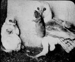 Barn Owl Feeding by Lyman Dwight Wooster
