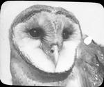 Barn Owl by Lyman Dwight Wooster
