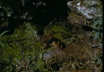 Bullfrog by Lyman Dwight Wooster